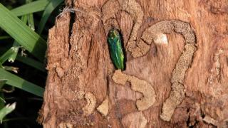 Emeraldashborerintree-1