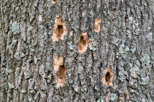 Emerald-ash-borer-woodpecker-oct2009f